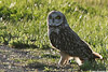 Short_Eared_Owl_web.jpg