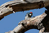 Woodpecker_4015_A_web.jpg